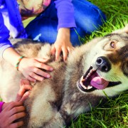 Siberian Husky dog playing. Funny Portrait looking at camera lyi